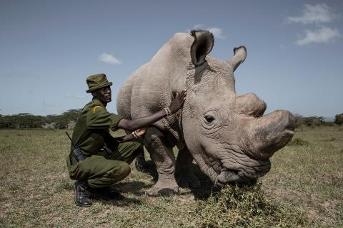 Sudan, the last male northern white rhino