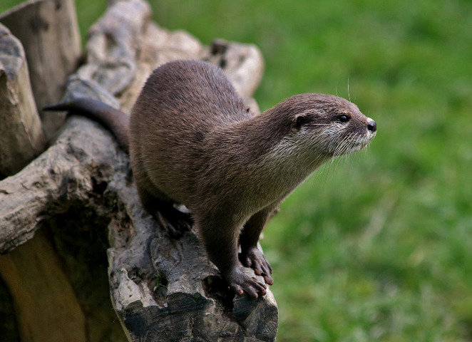 Freshwater otter perches on a log