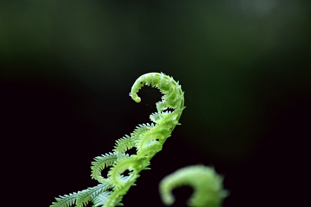 Fern fiddlehead unfurling